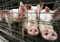 """Лукашенко: за \""""свиным гриппом\"""" стоит мировой заговор"""