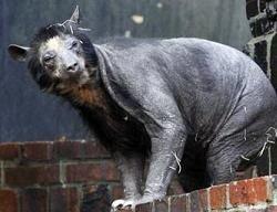В зоопарке Лейпцига облысели медведи