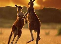 Загадочные круги на полях Австралии оставляют кенгуру?