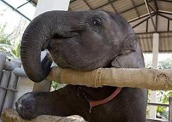 В США автомобиль въехал в слониху, сбежавшую из цирка