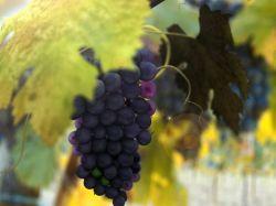 При описании сорта, представляемого для включения в... Разумеется, амурский обоеполый виноград в этом смысле не...