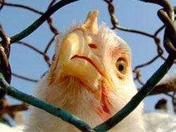 Птичий грипп вернулся в Израиль