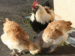 За кражу 4-х куриц россиянин получил три года тюрьмы