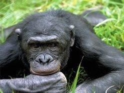 Выявлены приматы, задержавшиеся в детстве