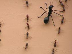 Мама-анархия или муравьиные войны