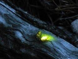 Ученые разгадали тайну светлячков