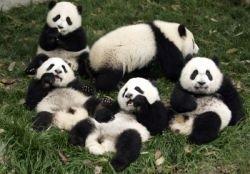 В Пекин из Вашингтона возвращается семейство панд