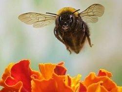Пчелы предпочитают нектар с кофеином и никотином