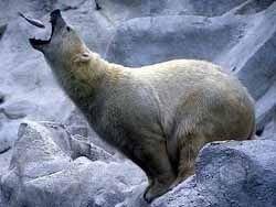 Белые медведи появились на Земле совсем недавно