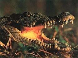 Беременная жена защитила мужа от крокодила