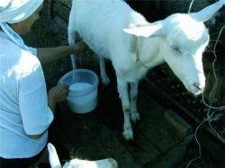 Козье молоко - причина заражения энцефалитом