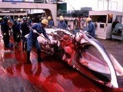 Япония пригрозила выйти из китобойной комиссии