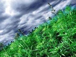 В организме человека есть марихуана