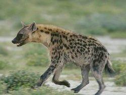 Хихиканье пятнистых гиен содержит информацию
