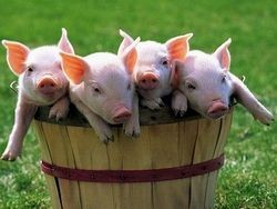 В Шотландии пытаются вывести ГМ-свиней