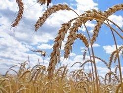 Россия: Пшеничная катастрофа