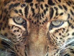 Цирковой леопард напал на девочку в Подмосковье