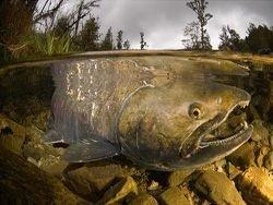 В США вывели генетически модифицированного лосося