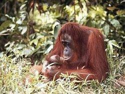 Биологи набросали словарь орангутангов