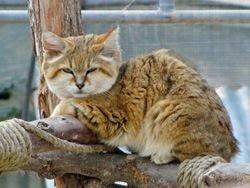 Датский барханный кот приехал в Новосибирск к подруге