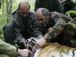 Тигры Приморья перестали испытывать страх