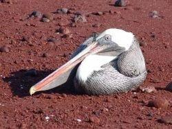 Последний из... пеликан