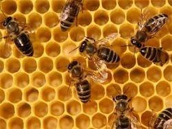 Мнение биолога: пчел убивает клещ, а не мобильники