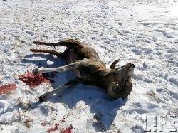 Алтайские чиновники-браконьеры пустились в бега