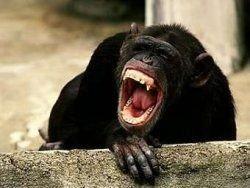 Шимпанзе уличили в территориальных войнах
