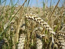 Россия: Какого урожая ждать - ответит погода