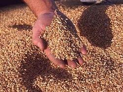 Египет возвращает России некачественную пшеницу