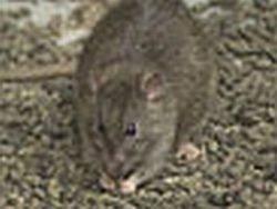 Крысы и человек: вековая борьба не дает результатов