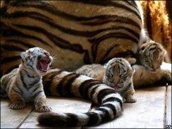 В России от неизвестной болезни гибнут амурские тигры