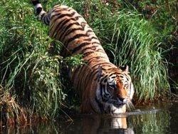 В Приморье эксперты расследуют гибель тигров