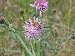 Пчелы научились протаскивать своих детей в королевы