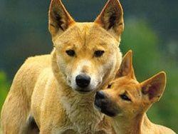 Ученые: собаке динго 6000 лет