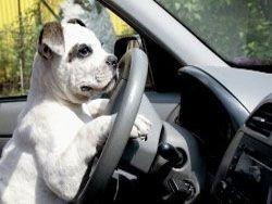 В США бульдог за рулем чуть не задавил хозяина