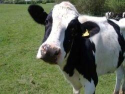 Украинские коровы признаны самыми счастливыми