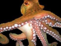 В Дели бум на разведение осьминогов