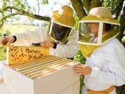 Новость на Newsland: Пчеловод вывел пчёл, устойчивых к клещу варроа