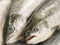 В Приморье изъяли 14 тонн контрабандного лосося