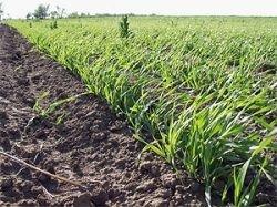 Поля ГМО сортов зерновых спасают посевы от вредителей