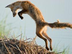 У лисиц обнаружено чувство магнитного поля