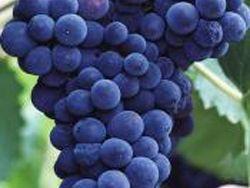 Виноград помогает избавиться от лишнего веса