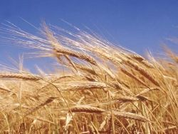 Украина официально объявила об урожае зерновых-2010