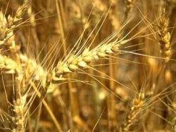 Зарубежные трейдеры против закупок украинского зерна
