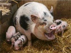 Россия с 20 января запретила ввоз свиней из Германии