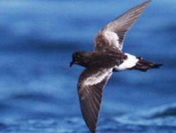 Возле Чили открыта неизвестная морская птица