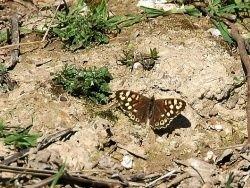 Даже бабочки бьются за самку