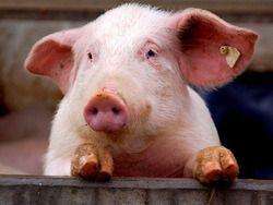 """В Китае решили вывести свиней, """"совместимых"""" с человеком"""